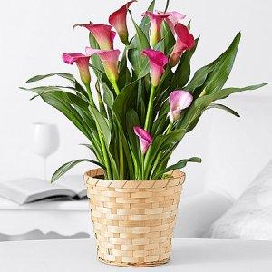 画像1: Potted Pink Calla Lily