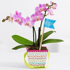 画像1: Sweetheart Birthday Orchid