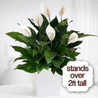 Premium Sympathy Peace Lily