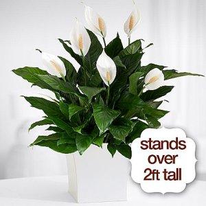画像1: Premium Sympathy Peace Lily