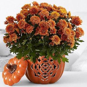 画像1: Pumpkin Harvest Mums