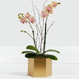 画像1: Potted Double Stem Kaleidoscope Orchid